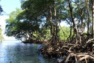 Mangrovenwald in Los Haitises
