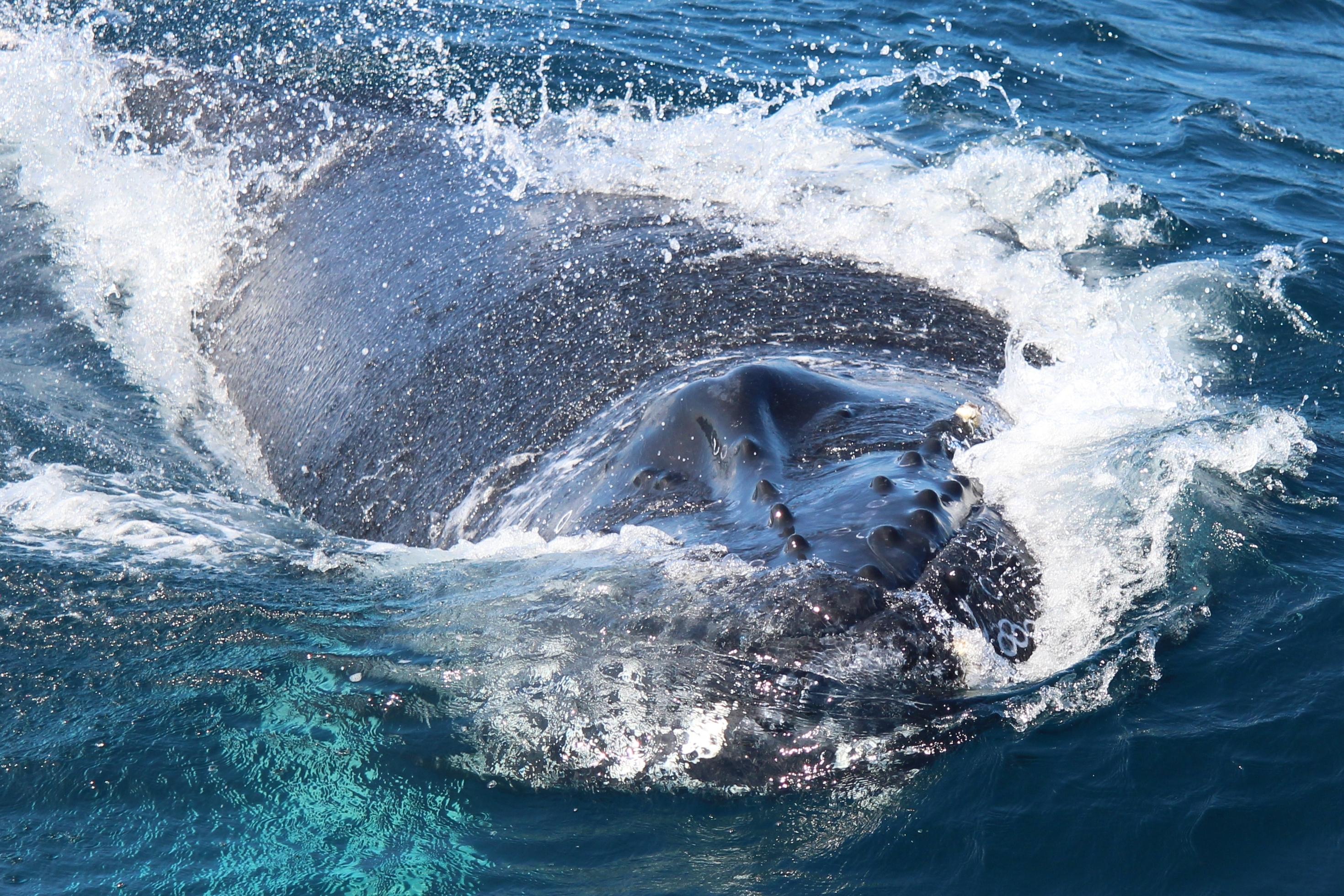Knoten am Kopf des Buckelwals