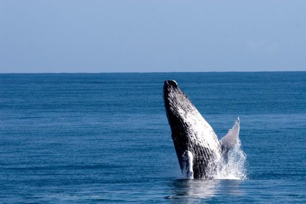 majestic humpback whales in dominican republic