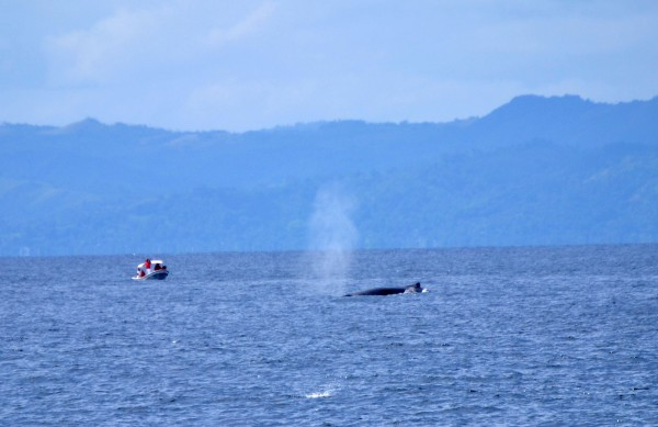 Whale Watching in Samaná