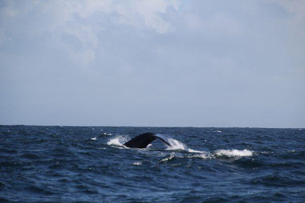 nachhaltig-whale-watching-samana